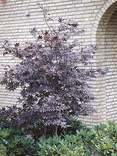 Acer palmatum 'Bloodgood' klon palmowy 'Bloodgood'