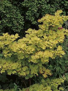 Acer japonicum (shirasawanum) 'Aureum' klon Szirasawy 'Aureum'