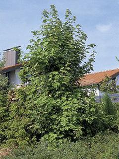 Acer pseuduplatanus Klon jawor