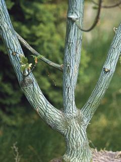 Acer capillipes Klon hondoański