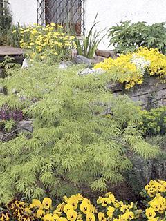 Acer palmatum 'Dissectum' klon palmowy 'Dissectum'