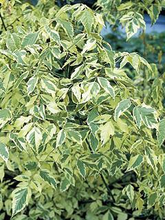 Acer negundo 'Aureovariegatum' klon jesionolistny 'Aureovariegatum'