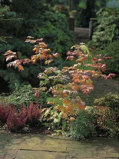 Acer japonicum 'Aconitifolium' klon japoński 'Aconitifolium'