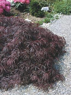 Acer palmatum 'Dissectum Atropurpureum' klon palmowy 'Dissectum Atropurpureum'