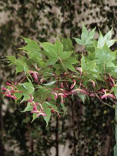 Acer palmatum Klon palmowy