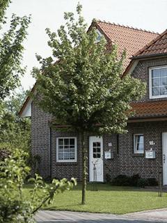 Acer campestre Klon polny