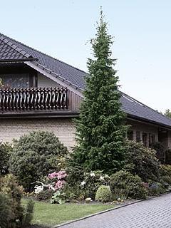 Picea omorika Świerk serbski