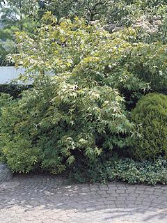 Acer palmatum 'Osakazuki' klon palmowy 'Ôsakazuki'
